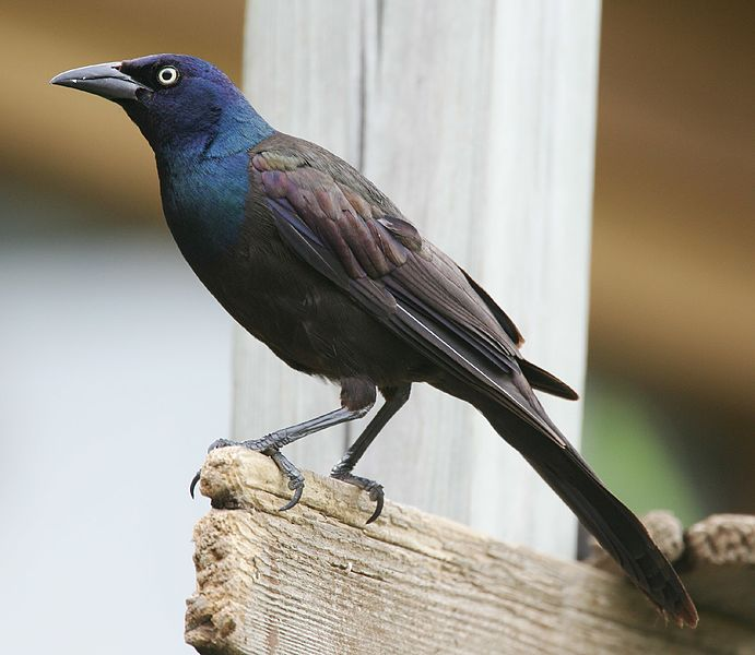 "- Common Grackle (Quiscalus quiscula)Common Grackles live in open areas such as meadows, parks, empty lots, and agricultural areas. They eat insects, other invertebrates, berries, seeds, and grains. They have a wingspan of 14.2-18.1 in. and weigh about 2.6-5 oz. Their song is ""readle-eak"" and whistles. Common Grackles make a nasally call like ""chaa."" They are protected on the US Migratory Bird list.Photo Credits: Mdf (Wikimedia Commons)"