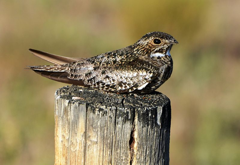 "- Common Nighthawk (Chordeiles minor)Common Nighthawks live in open areas such as clearings, rooftops of towns and cities, and anywhere that has a flat surface for nesting. They are most likely to be seen during dusk and dawn, but are active during the day and night also. They eat flying insects. Fossils of Common Nighthawks have been found throughout most of the United States dating back 400,000 years. They have a large wingspan of 20.9-22.4 in. and weigh 2.3-3.5 oz. Their call is similar to the American Woodcock's nasal ""peent"" but also make an ""auk auk auk"" noise. During mating, males ""boom"" with their wings by diving and flapping their wings. They are protected on the US Migratory Bird list."