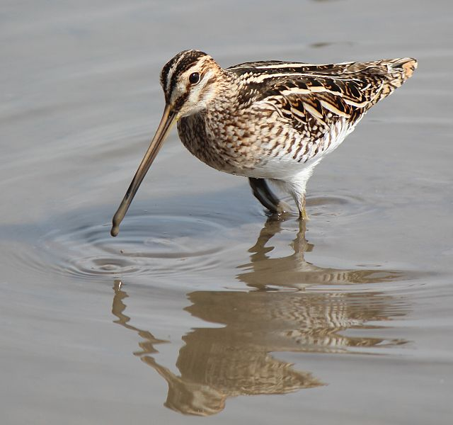 - Common Snipe (Gallinago gallinago)Common Snipes live in wetlands and marshy areas. They eat insects and other invertebrates such as earthworms and crustaceans. Their wingspan is 17.3-18.5 in. and they weigh 2.5-6.4 oz. Common Snipes are protected on the US Migratory Bird list.Photo credits: Wikimedia Commons user Alpsdake