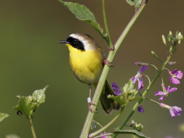 "- Common Yellowthroat (Geothlypis trichas) Common Yellowthroats live in marshes and wet, low brushy areas. They eat insects, arachnids, and seeds. They have a wingspan of 5.9-7.5 in. and weigh 0.3-0.4 oz. Common Yellowthroats sing a distinct song that says ""wichity wichity wichity."" They are protected on the US Migratory Bird list.Photo Credits: Lynn Watson"