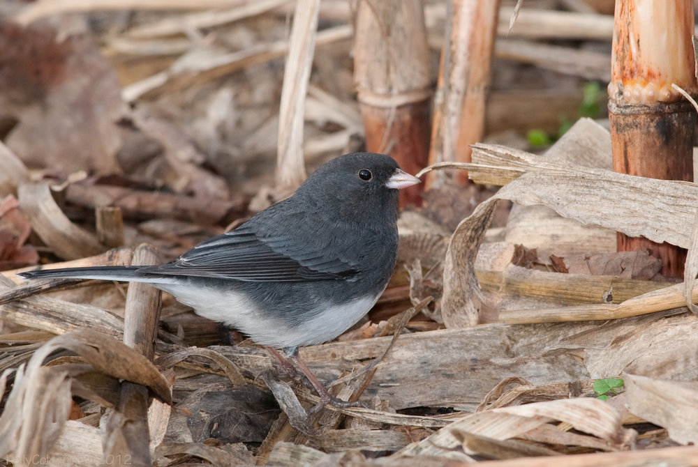 - Dark-eyed Junco (Junco hyemalis)Dark-eyed Juncos live in coniferous and mixed forests, open woodlands, and backyards. They eat seeds, insects, and berries. They weigh 0.6-1.1 oz . and have a wingspan of 7.1-9.8 in. Dark-eyed Juncos twitter, trill, and whistle, but do not have a very distinct call. They are protected on the US Migratory Bird lists.