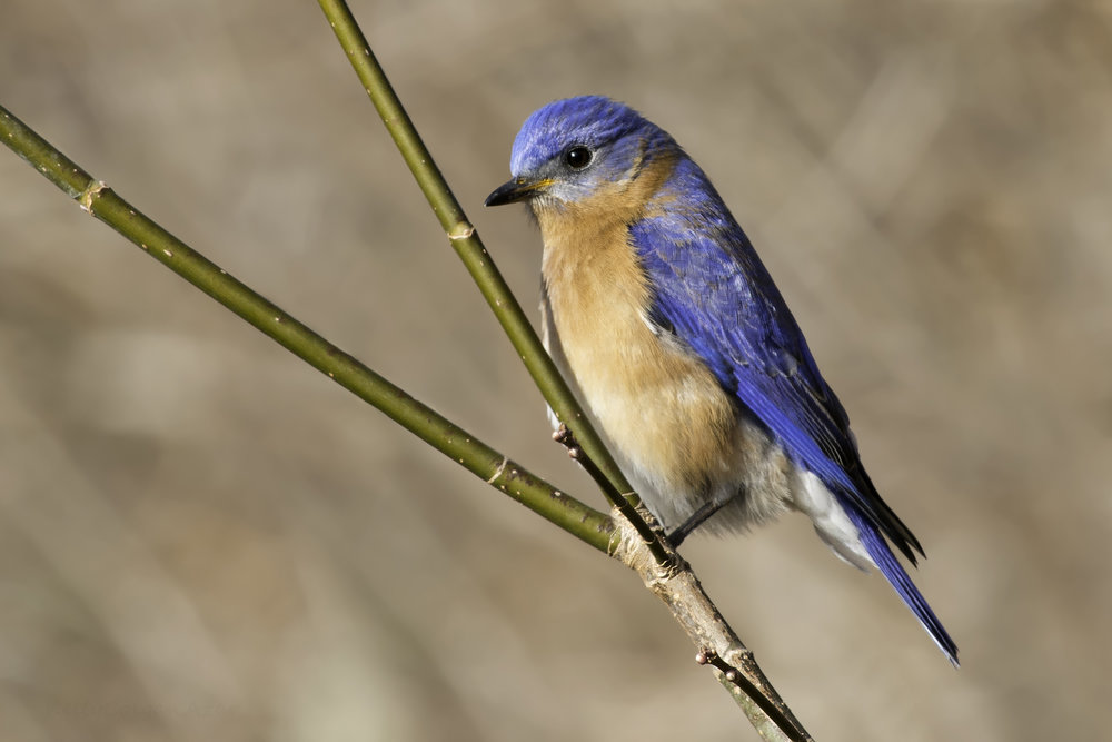 "- Eastern Bluebird (Sialia sialis)Eastern Bluebirds live in open areas, forest edges, and in nesting boxes. Their diet consists of insects such as grasshoppers and beetles, arachnids, other invertebrates, and berries. They weigh about 1 oz. and have a wingspan of 9.8-12.6 in. Eastern Bluebirds have a low call that says ""tu-a-wee."" They are protected on the US Migratory Bird list.Photo Credits: Kelly Colgan Azar"