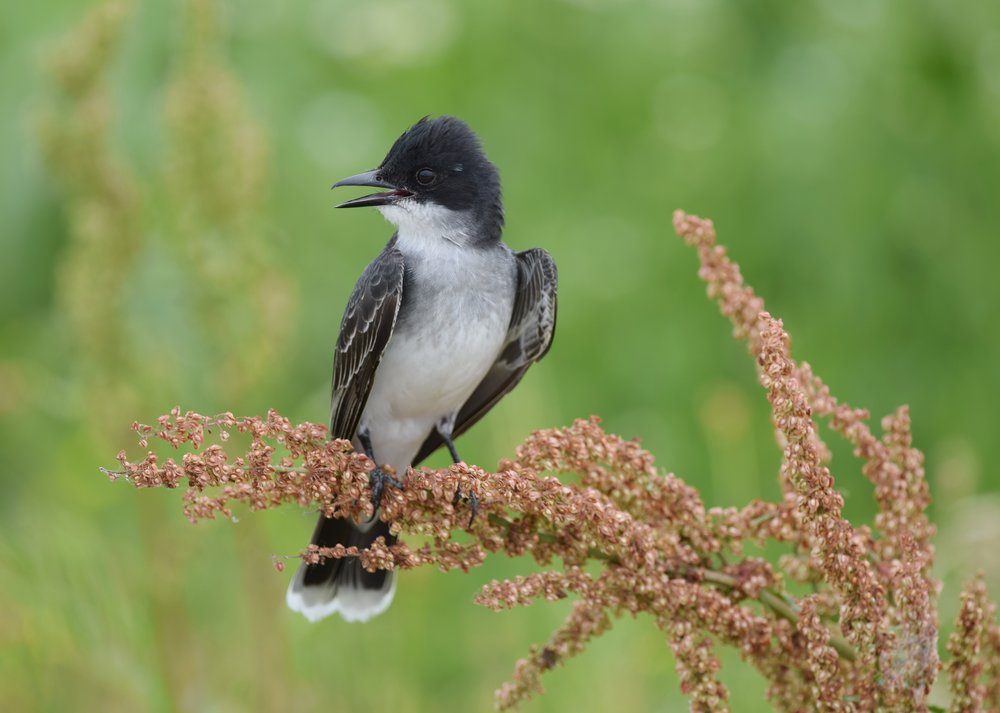 - Eastern Kingbird (Tyrannus tyrannus)Eastern Kingbirds live mostly in open, grassy areas and on the edges of forests. Their diet consists of insects and fruit. Eastern Kingbirds grow to be 1.2-1.9 oz. with a wingspan of 13-15 in. Their song is a high sputtering that ends with buzzing. Their name comes from their hidden crest, which can be one of multiple bright colors and only is shown when threatened. Eastern Kingbirds may be mistaken for Eastern Wood Pewees, but can be distinguished by their white-tipped tail. They are protected on the US Migratory Bird lists. Photo Credits: Andy Reago & Chrissy McClarren