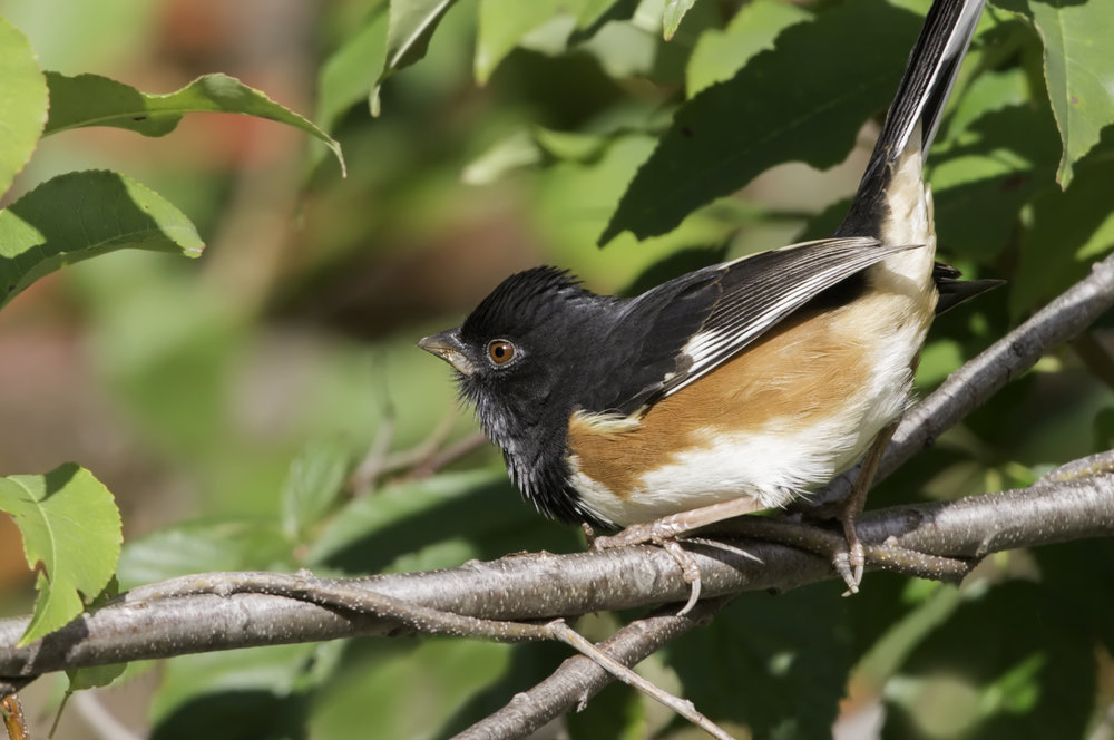 "- Eastern Towhee (Pipilus Erythrophthalmus)Eastern Towhees live mainly in the understory of forests and spend much of their time on the ground. Their diet consists of berries, seeds, insects, and other invertebrates. They have a wingspan of 7.9-11 in. and weigh 1.1-1.8 oz. Formerly known as ""Rufous-sided Towhees,"" Eastern Towhees were categorized with Spotted Towhees. Eastern Towhees make a very noticeable call that says ""Drink your tea, drink your tea."" They are protected on the US Migratory Bird lists."