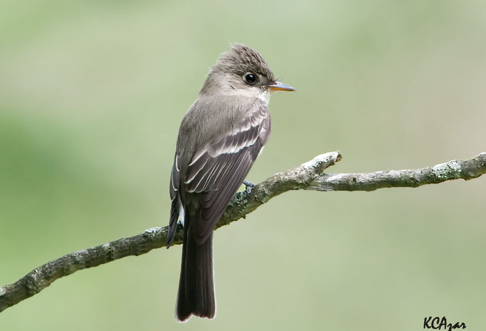 "- Eastern Wood Pewee (Contopus virens)The Eastern Wood Pewee lives in deciduous and coniferous forests and in any other wooded areas, such as parks and roadsides. They eat insects and other invertebrates. Their wingspan is 9.1-10.2 in. and they weigh 0.4-0.7 oz. Eastern Wood Pewees say their name in their ""pee-a-weee"" song. The are protected on the US Migratory Bird list.Photo Credits: Kelly Colgan Azar"