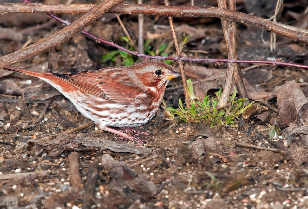 - Fox Sparrow (Passerella iliaca)Fox Sparrows live in wooded areas and thickets. Their diet consists of insects, arachnids, seeds, and fruit. There are 4 different types of Fox Sparrows, which are categorized by their appearance and regions. Fox Sparrows' songs also differ by type, and are all sweet-sounding chirpy songs. They are protected on the US Migratory Bird list.Photo Credits: Kelly Colgan Azar