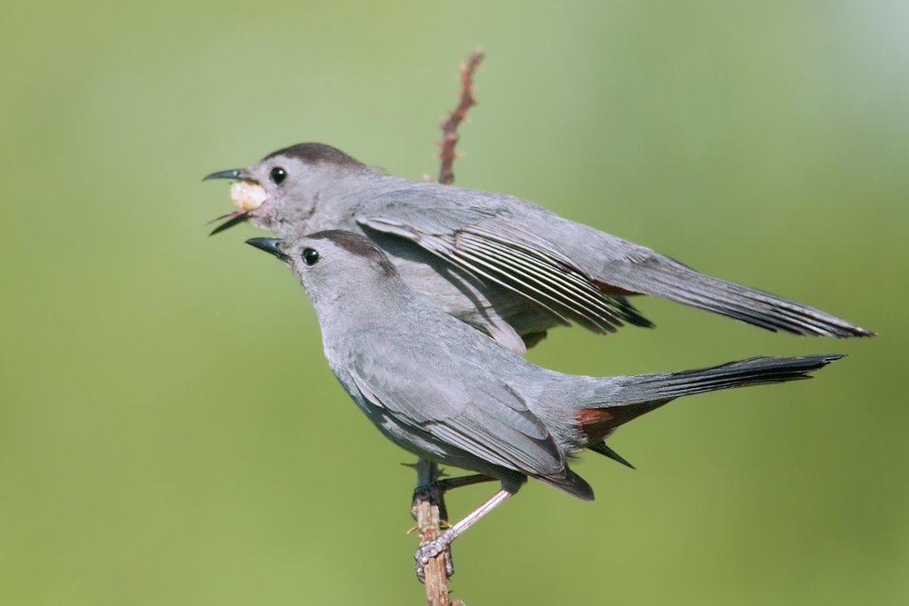"- Gray Catbird (Dumetella carolinensis)Gray Catbirds live in dense, shrubby areas. Their diet consists of insects, fruit, berries, and food at bird feeders. They have a wingspan of 8.7-11.8 in. and weigh 0.8-2 oz. Gray Catbirds are able to mimic some other birds' calls, but their unmistakable call sounds like a kitten's ""mew."" They are protected on the US Migratory Bird list.Photo Credits: Kelly Colgan Azar"