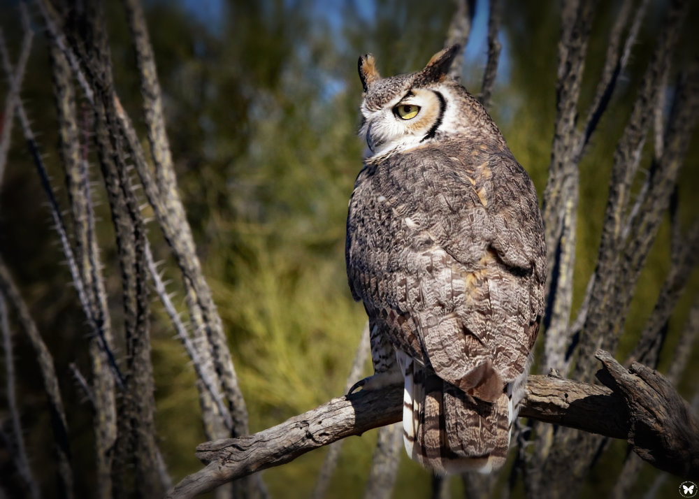 "- Great Horned Owl (Bubo virginianus)Great Horned Owls live in mixed woods and open fields, grasslands, deserts, and urban areas. They weigh 32.1-88.2 oz. with a wingspan of 39.8-57.1 in. They have binocular vision, meaning their forward vision is great whereas their peripheral is poor. Great horned owls eat rabbits, rodents, other birds, insects, amphibians, and reptiles. They give off low ""hoo's"" or whistle, bark, and coo. They are protected on the US Migratory Bird lists.Photo Credits: Elaine Malott"