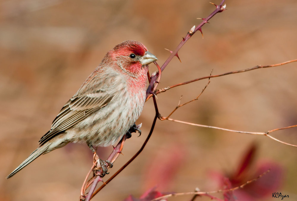 - House Finch (Haemorhous mexicanus)House Finches live mostly in urban areas such as towns, cities, and parks. Their diet is almost completely berries, seeds, and fruit. They weigh 0.6-1 oz. and have a wingspan of 7.9-9.8 in. House Finches are commonly confused with Purple Finches, due to their almost identical coloring. However, male House Finches seem to have light brown bars on their breasts, whereas Purple Finches are usually more solidly cream/red. They sing a jumbled song. They are protected on the US Migratory Bird list.Photo Credits: Kelly Colgan Azar