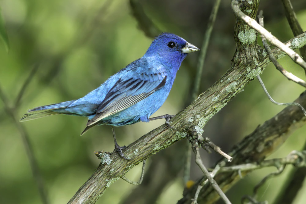 "- Indigo Bunting (Passerina cyanea)Indigo Buntings live in shrubby areas and on the edges of woodlands. They eat seeds, insects, and arachnids. Indigo Buntings have a wingspan of 7.5-8.7 in. and weigh about 0.4-0.6 oz. When migrating, they use the stars to navigate. Their common song is ""What? What? Where? Where? See it! See it!"" They are protected on the US Migratory Bird lists.Photo Credits: Kelly Colgan Azar"