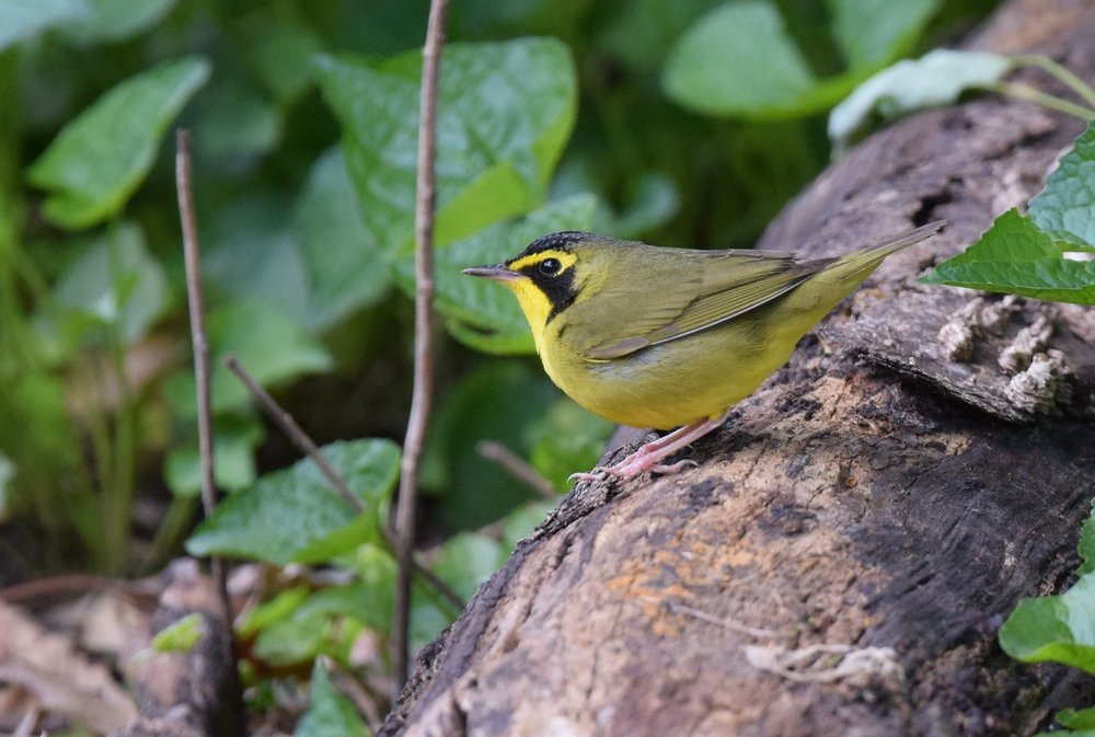 "- Kentucky Warbler (Geothlypis formosa)Kentucky Warblers live in deciduous undergrowth near running water. Their diet consists of insects and berries. They weigh 0.4-0.5 oz. and have a wingspan of 7.1-8.7 in. Kentucky Warblers sing ""tur-dee tur-dee tur-dee tur-dee."" They are protected on the US Migratory Bird list.Photo Credits: Andy Reago & Chrissy McClarren"