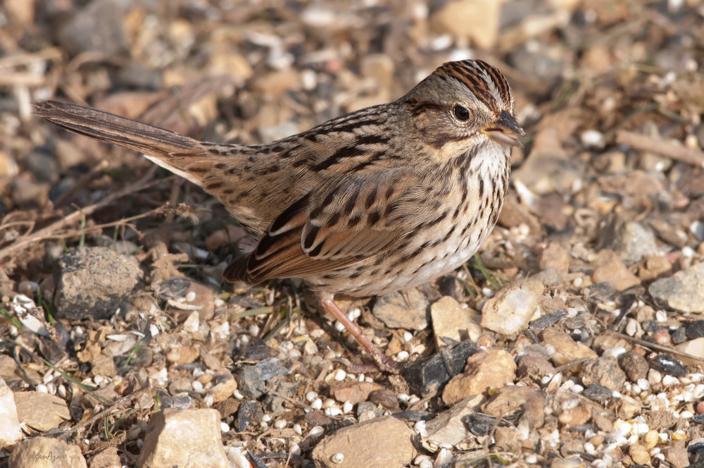 "- Lincoln's Sparrow (Melospiza lincolnii)Lincoln's Sparrows live in shrubby areas and thickets. Their diet consists of insects and seeds. They weigh 0.5-0.7 oz. and are 5.1-5.9 in. long. Lincoln's Sparrows' songs begin with a two-note ""cheer-cheer"" and end with a trill and multiple singular notes. They are protected on the US Migratory Bird list.Photo Credits: Kelly Colgan Azar"
