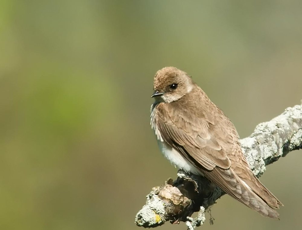 "- Northern Rough Winged Swallow (Stelgidopteryx serripennis)Northern Rough-winged Swallows live in a variety of areas ranging from man-made structures to on banks near water. They eat aerial insects. This Swallow weighs around 0.4-0.6 oz. and can have a wingspan of 10.6-11.8 in. They make a ""brrt"" noise that is a low tone. They are protected on the US Migratory Bird lists.Photo Credits: Kelly Colgan Azar"