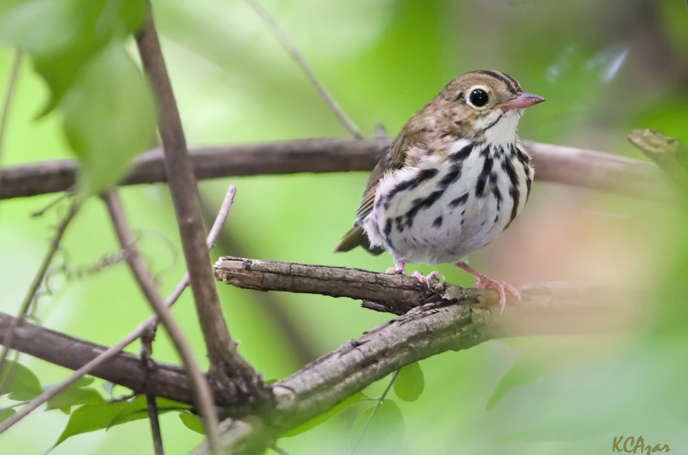 "- Ovenbird (Seiurus aurocapilla)Ovenbirds live in deciduous and mixed forests. They prefer to live near the understory, and build their oven-like nests on the forest floor. Their diet consists of insects, arachnids, and seeds. They weigh 0.6-1 oz. and have a wingspan of 7.5-10.2 in. The Ovenbirds' call says ""teacher, teacher, teacher, teacher, teach."" They are protected on the US Migratory Bird list.Photo Credits: Kelly Colgan Azar"