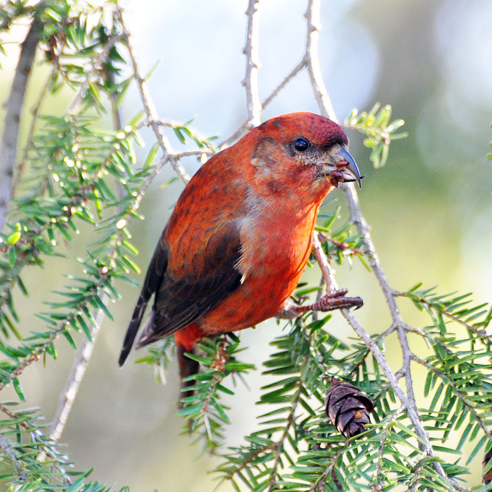 "- Red Crossbill (Loxia curvirostra)Red Crossbills live in coniferous forests. Their diet includes seeds, berries, buds, and minerals such as salt. Red Crossbills sing a metallic ""twee-twee-twee-twee twup -twin-a-twin-a."" They are protected on the US Migratory Bird list.Photo Credits: Don Faulkner"