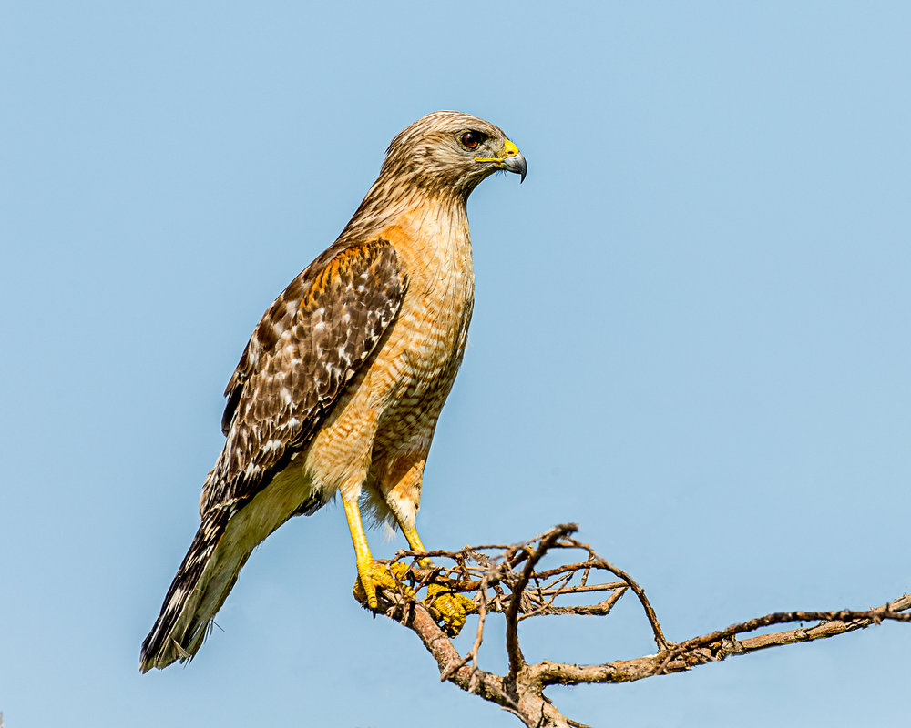 - Red-shouldered Hawk (Buteo lineatus)Found throughout North America and live in forests and swamp areas. Red-shouldered Hawks weigh about 17.1-27.3 oz. with a wingspan of 37-43.7 in. They communicate by vocalization sounding like
