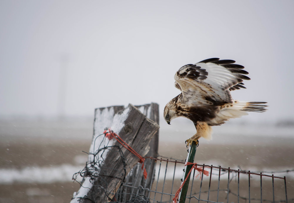 "- Rough-legged Hawk (Buteo lagopus)Rough-legged Hawks prefer arctic and subarctic habitats, but winter in open areas and fields in the United States. Rough-legged Hawks weigh about 25.2-49.4 oz. with wingspan of 52-54.3 in. Startled adults may make a ""mew"" similar to a cat while nesting. Rough-legged Hawks mostly eat small mammals, but sometimes eat other birds. They are protected on the US Migratory Bird lists.Photo Credits: Jon Nelson"