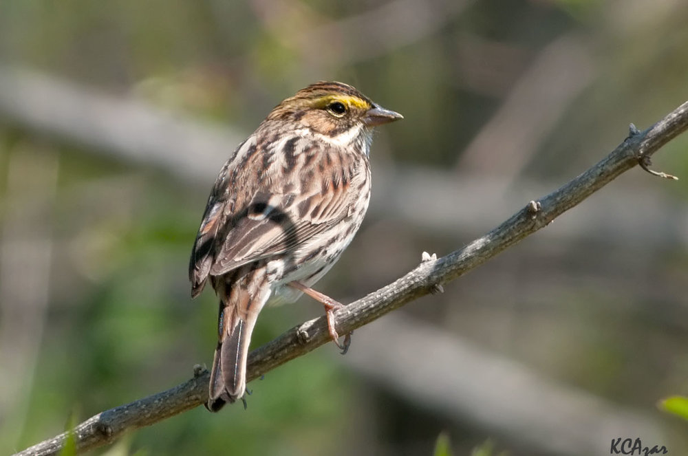 "- Savannah Sparrow (Passerculus sandwichensis)Savannah Sparrows live in open areas such as grasslands, fields, wetlands, and tundra. Their diet includes insects, arachnids, and seeds. They weigh 0.5-1 oz. and have a wingspan of 7.9-8.7 in. Savannah Sparrows sing ""tsip-tsip-tsip-tsip-te-te-tzerrrrr."" They are protected on the US Migratory Bird list.Photo Credits: Kelly Colgan Azar"