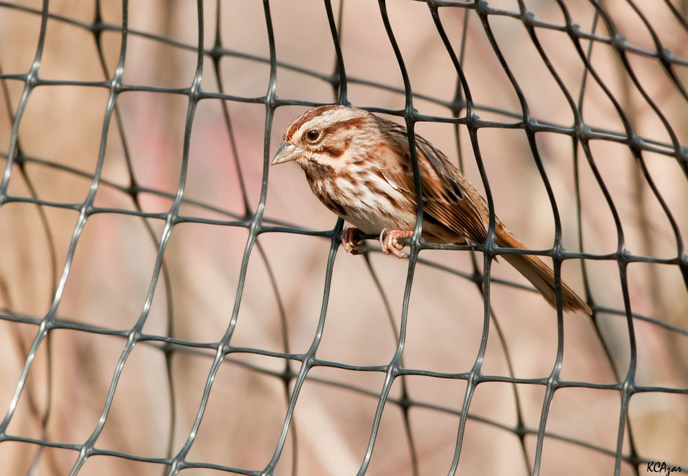 "- Song Sparrow (Melospiza melodia)Song Sparrows live in deciduous and mixed open woodland. Their diet consists of invertebrates such as insects, arachnids, and mollusks, seeds, fruit, and berries. Their wingspan is 7.1-9.4 in. and they weigh 0.4-1.9 oz. Song Sparrows' call starts with ""chip-chip-chip-chippeerr"" and ends with a mechanical sounding trill and chip notes. They are protected on the US Migratory Bird list.Photo Credits: Kelly Colgan Azar"