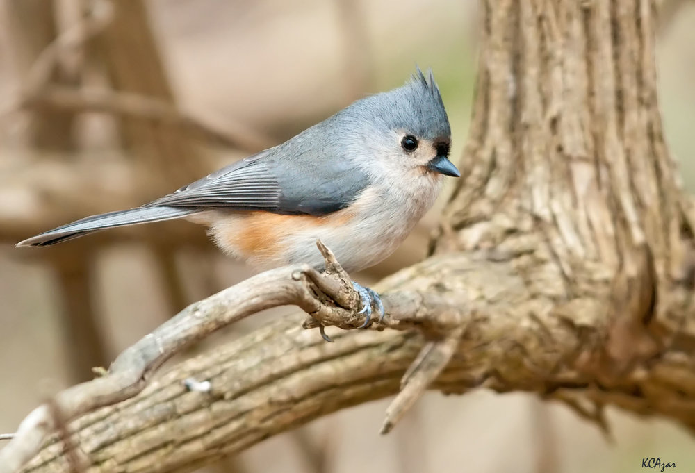 "- Tufted Titmouse (Baeolophus bicolor)Tufted Titmice live in deciduous and mixed forests, but also live in residential areas. They have a wingspan of 7.9-10.2 in. and weigh 0.6-0.9 oz. Their call sounds like ""Peter-peter-peter"" and they also make sounds that resemble a chickadee. Tufted Titmice eat insects, seeds, and fruit. They are protected on the US Migratory Bird lists.Photo Credits: Kelly Colgan Azar"