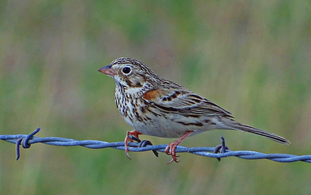 "- Vesper Sparrow (Pooecetes gramineus)Vesper Sparrows live in open areas such as meadows, prairies, and grasslands. Their diet consists of seeds, insects, and arachnids. They have an average wingspan of 9.4 in. and weigh 0.7-1 oz. Vesper Sparrows sing ""come-come-where-where-all-together-down-the-hill."" They are protected on the US Migratory Bird list.Photo Credits: Jay Phagan"