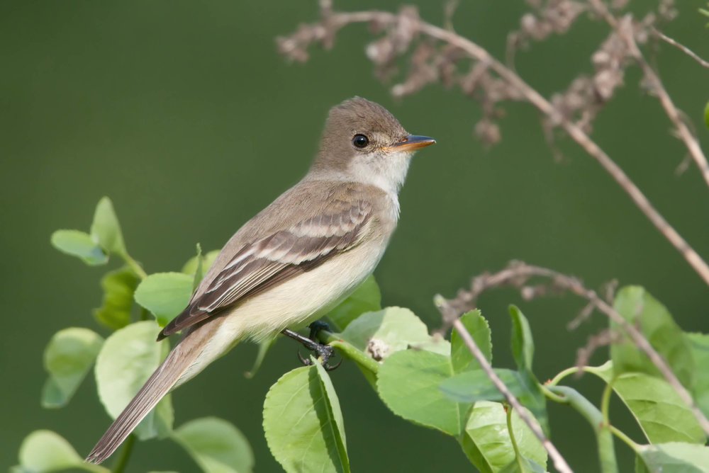 "- Willow Flyctcher (Empidonax traillii)Willow Flycatchers live in marshy areas with willow trees and other deciduous trees. Their diet consists of winged insects and berries. They weigh 0.4-0.6 oz. and have a wingspan of 7.5-9.4 in. Willow Flycatchers and Alder Flycatchers look so similar that they were once considered the same species, the Traill's Flycatcher. They only way most people can tell them apart is by their calls. Willow Flycatchers sing a buzzy ""fitz-bew"" or ""pit-speer."" They are protected on the US Migratory Bird list.Photo Credits: Kelly Colgan Azar"
