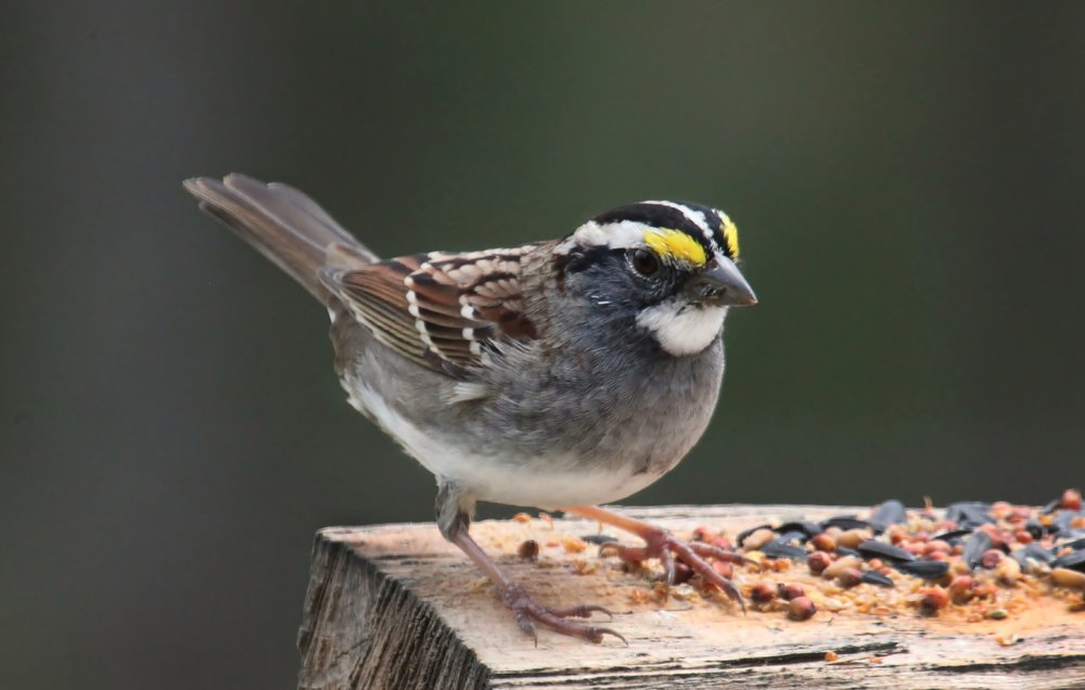 "- White-throated Sparrow (Zonotrichia albicollis)White-throated Sparrows live in deciduous and coniferous forests. Their diet consists of seeds, insects, and berries. They weigh 0.8-1.1 oz. and have a 7.9-9.1 in. wingspan. White-throated Sparrows sing ""Oh-Canada-Canada-Canada-Canada."" They are protected on the US Migratory Bird list.Photo Credits: John Flannery"