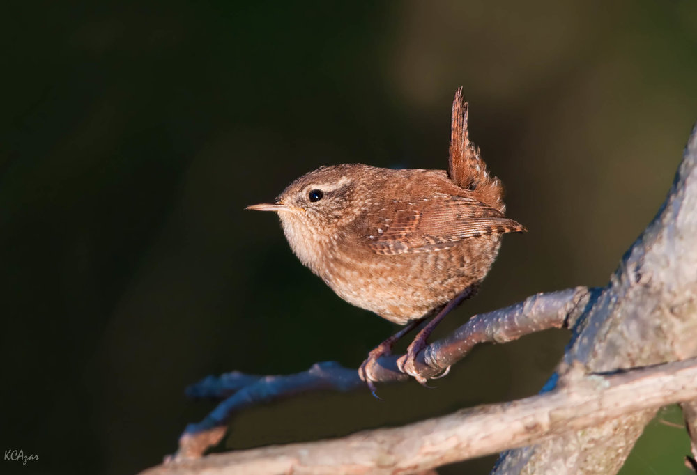 - Winter Wren (Troglodytes hiemalis)Winter Wrens live mostly in coniferous forests, but also deciduous. Their diet consists of insects, arthropods, arachnids, and berries. They have a wingspan 4.7-6.3 in. and weigh 0.3-0.4 oz. Winter Wrens sing a series of fluid whistling notes, almost like a trill. They are protected on the US Migratory Bird list.Photo Credits: Kelly Colgan Azar