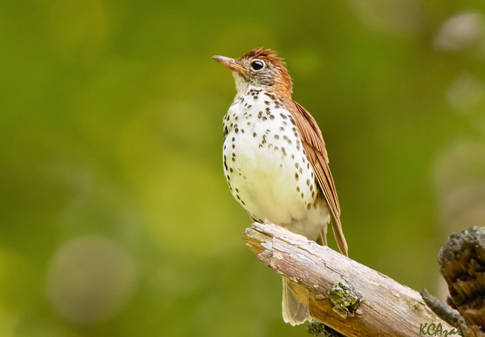 "- Wood Thrush (Hylocichla mustelina)Wood Thrushes live mostly in deciduous or mixed woodlands. Their diet consists of insects of berries, but includes snails before breeding. Their wingspan is 11.8-13.4 in. and they weigh 1.4-1.8 oz. Wood Thrushes sing ""ee-oh-lay"" where the ""lay"" part is trilled. They are protected on the US Migratory Bird list.Photo Credits: Kelly Colgan Azar"