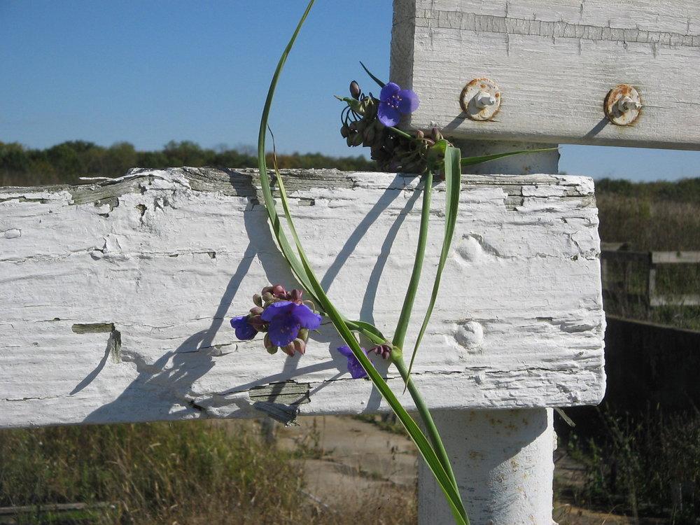 spiderwort (Tradescantia ohiensis)