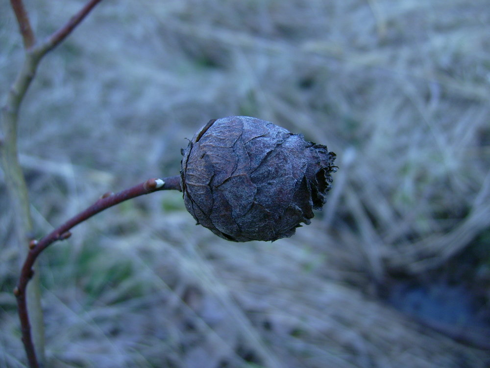 A willow pinecone gall in winter shows hardening of the scales that protect the larva of the gall midge within.