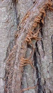 Virginia creeper rootlets (photo credit:  Jim Mason, Great Plains Nature Center)
