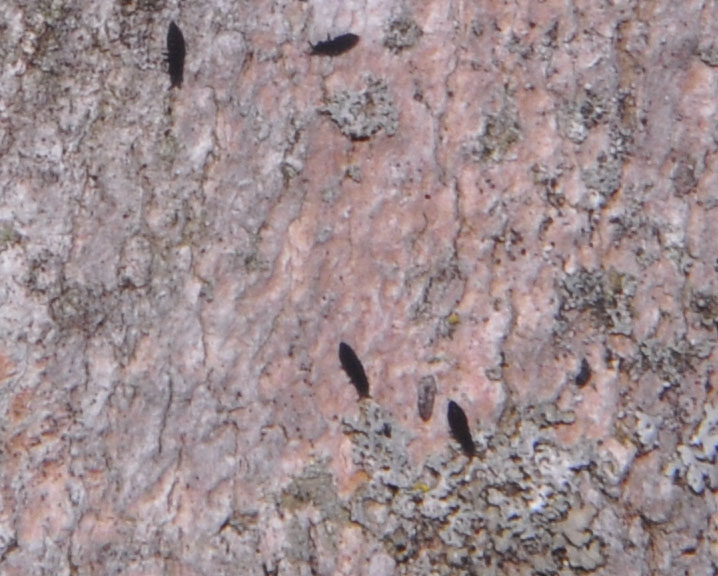 Springtails on tree, Severson Dells Nature Center, Rockford, IL - March 30, 2018
