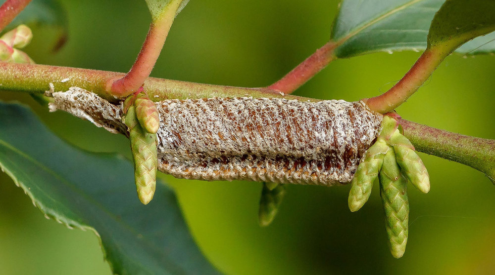 Native Carolina praying mantis egg case - thanks to S. Carolina Public Radio.