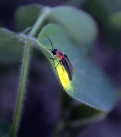"Random Factoid:  A Jamaican term for lightning bug is, ""blinkie."""