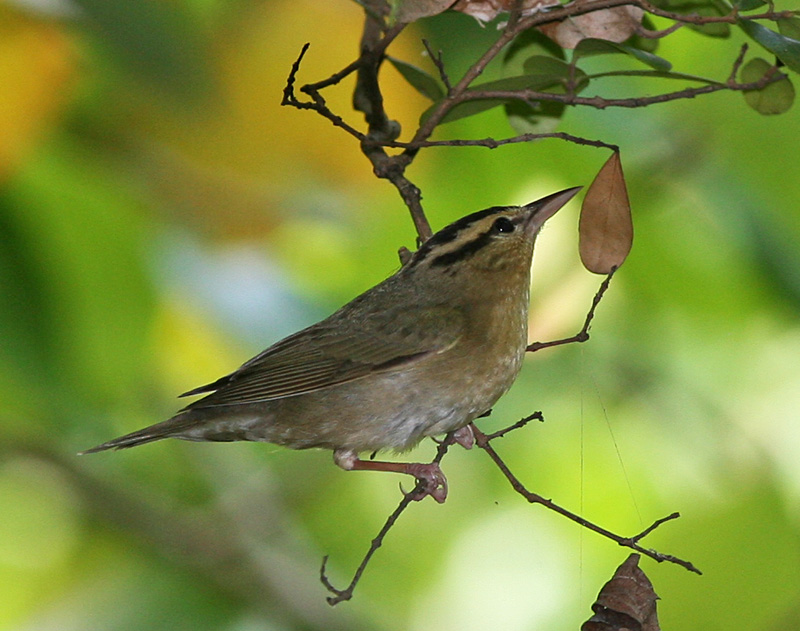 Photo Credits: Tom Friedel/www.birdphotos.com