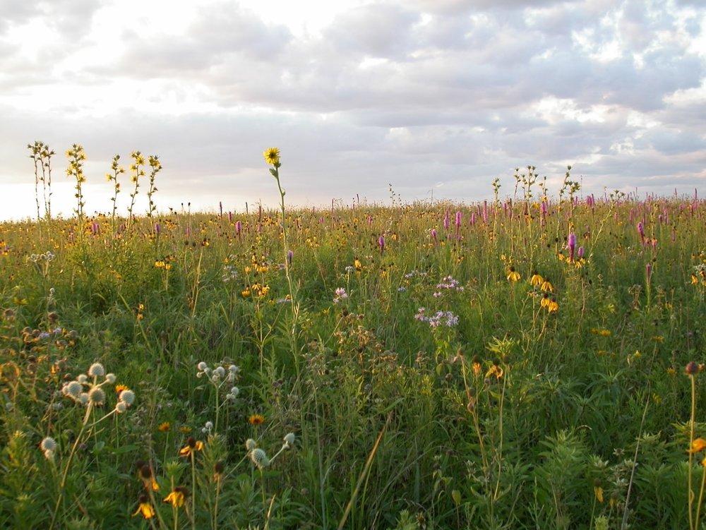 Grassland Wildflowers.jpg