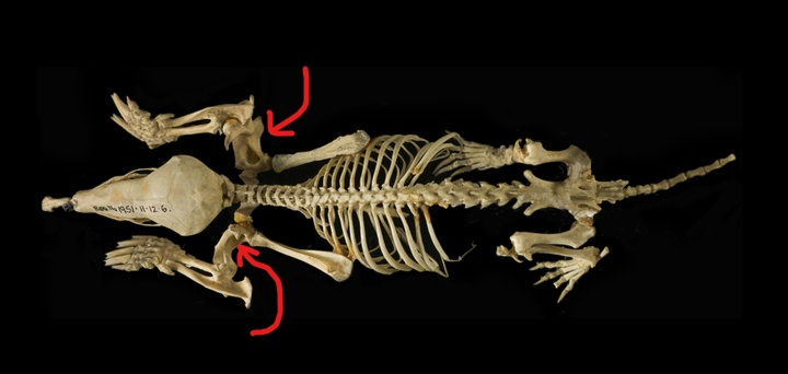 This image is from the Natural History Museum, online.  I drew the arrows in to show you where the humerus is located on each leg.  This is a European Mole, not an Eastern Mole, but the parts are still essentially the same.
