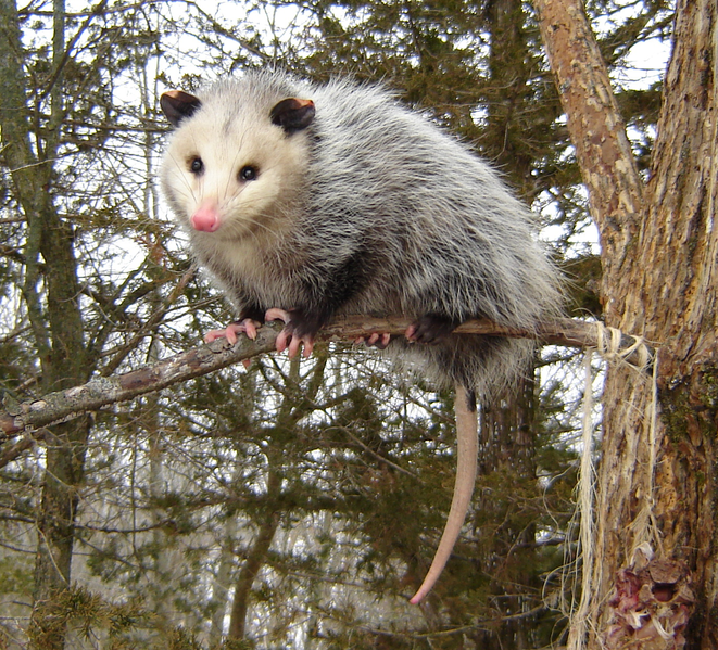661px-Opossumvirginia.png