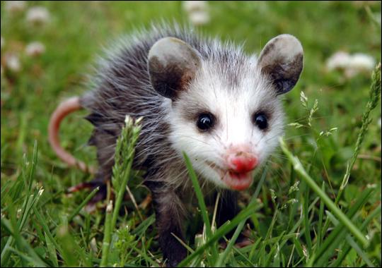 baby possum.jpg