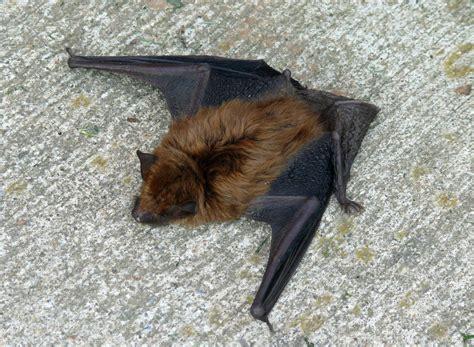 big brown bat.jpg