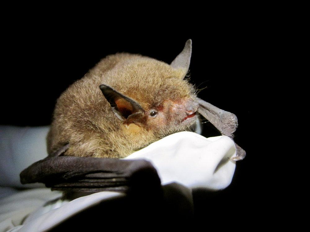 gray bat.jpg