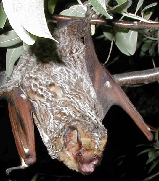 Hoary_bat_Lasiurus_cinereus_(cropped).jpg