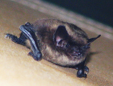 little_brown_bat.jpg
