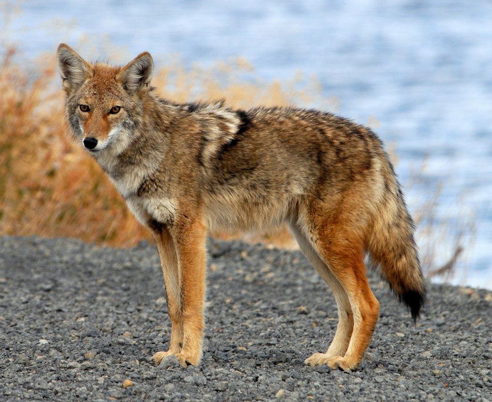 Coyote_Tule_Lake_CA.jpg
