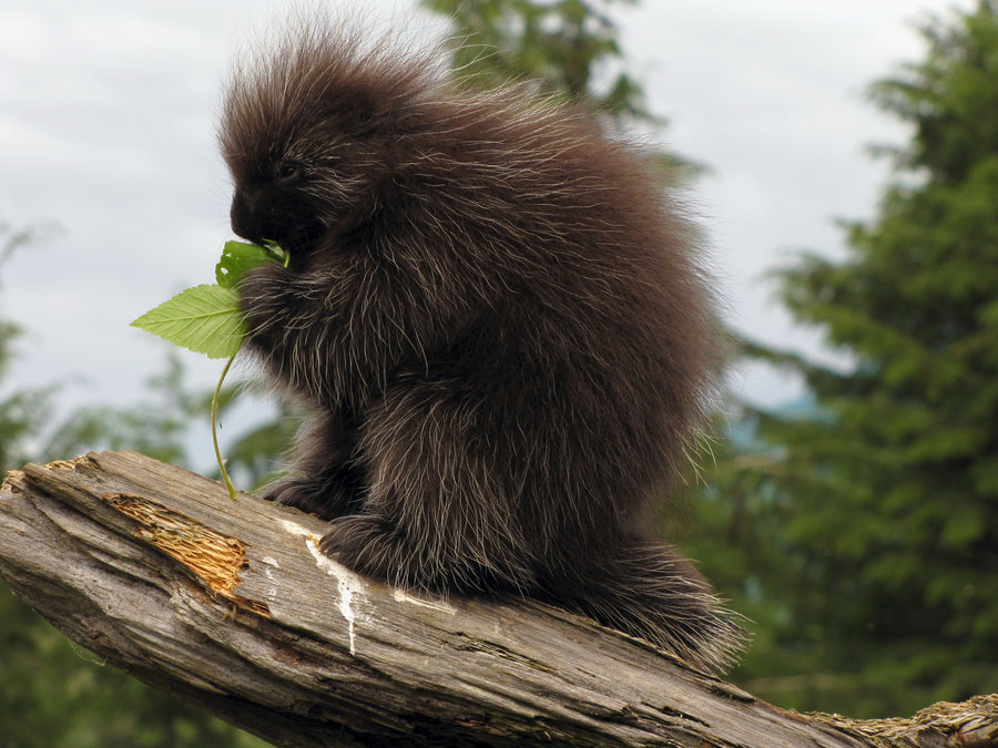 north_american_porcupine_by_shadowsstocks-d56x9ax.jpg