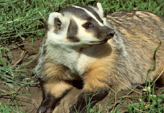 badger-badger.org.jpg