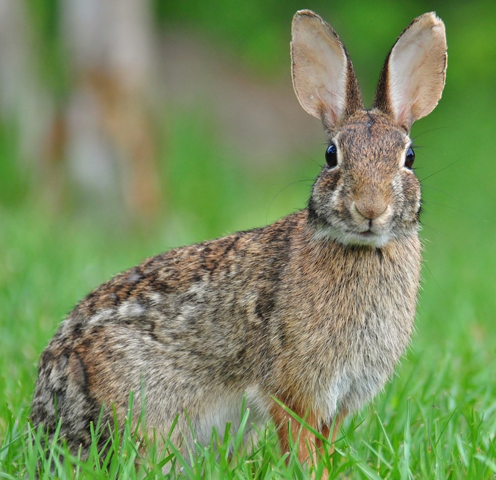 1200px-Eastern_Cottontail.JPG