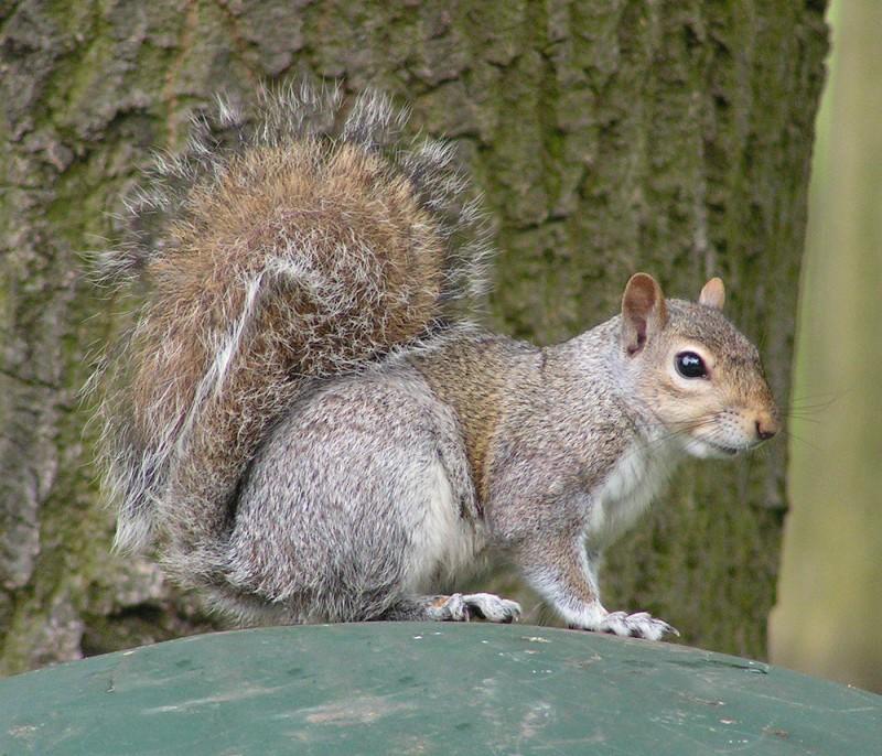 Eastern_Gray_Squirrel_800.jpg
