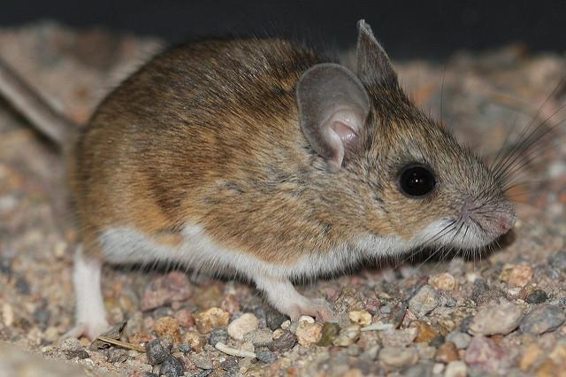 deer mouse.jpg